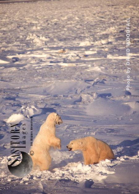 Male Polar Bears (Ursus Maritimus) Play Fighting, Wapusk National Park, Hudson Bay, Manitoba, Canada