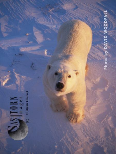 Male Polar Bear (Ursus Maritimus)  Looking Up At Camera, Wapusk National Park, Hudson Bay, Manitoba, Canada