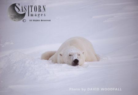 Male Polar Bear (Ursus Maritimus) Sleeping In Day Bed, Wapusk National Park, Hudson Bay, Manitoba, Canada