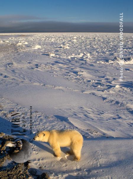 Male Polar Bear (Ursus Maritimus), Wapusk National Park, Manitoba Canada