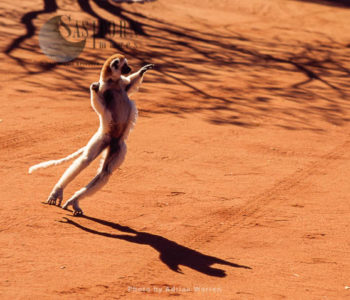 Verreaux's Sifaka (Propithecus Verreauxi), Hopping On Ground, Berenty, Southern Madagascar