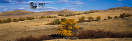 Cottonwoods In Autumn, On Prairie. Crow Indian Reservation, Montata, USA