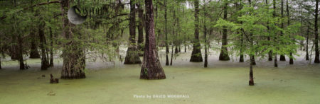 Swamp Cypress Grove, Lake Martin Nature Reserve. Louisiana, USA