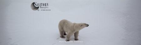 Polar Bear (Ursus Maritimus), Male In Snow, Hudson Bay, Northeastern Canada