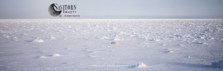 Polar Bear (Ursus Maritimus), On Frozen Sea Ice, Hudson Bay, Wapusk National Park, Manitoba, Canada