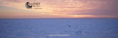 Polar Bear (Ursus Maritimus) At Dawn Walking Across Frozen Sea Ice To Winter Hunting Grounds, Hudson Bay, Northeastern Canada