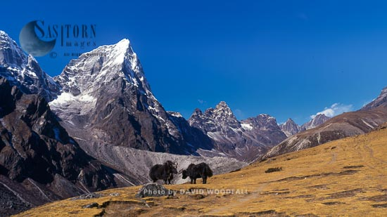 Tawoche Mountain With Yaks (Bos Grunniens),  Sagamartha National Park,  Nepal