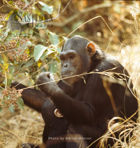 Chimpanzee (Pan Troglodytes), Adult Female And Baby, Gombe National Park, Tanzania