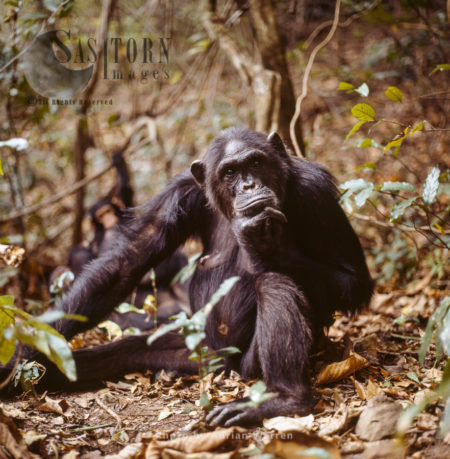 Chimpanzee (Pan Troglodytes), 36 Years Old Female Fifi Resting, Gombe National Park, Tanzania