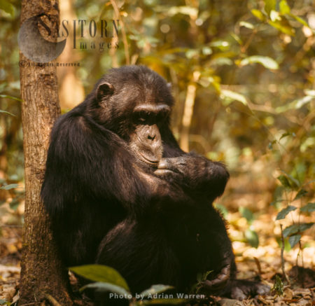Chimpanzee (Pan Troglodytes), Adult Male Resting, Gombe National Park, Tanzania