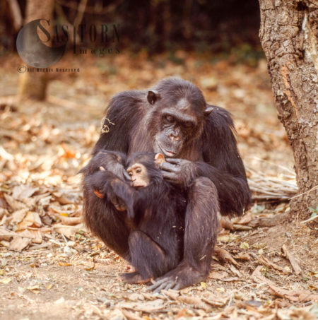 Chimpanzee (Pan Troglodytes), 36 Years Old Mum, Fifi, With One Year Old Infant Ferdinand, Gombe Stream National Park, Tanzania