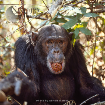 Chimpanzee (Pan Troglodytes), Alpha Male Freud Eating Fruit, Gombe National Park, Tanzania